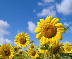 真夏の向日葵