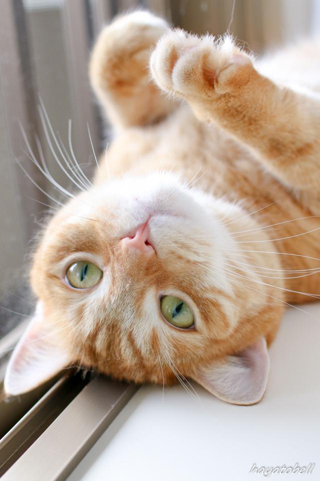 窓辺で暑そうにしている猫